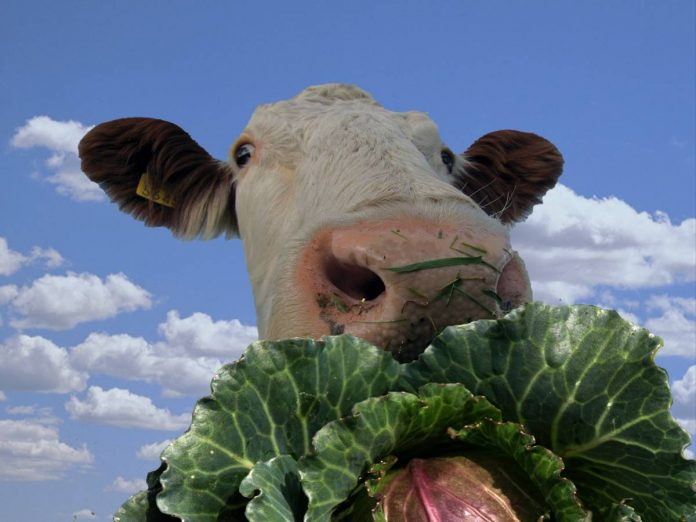How the Cow Eats the Cabbage